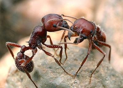 Так, добытчики пищи муравьев вида Pogonomyrmex barbatus...