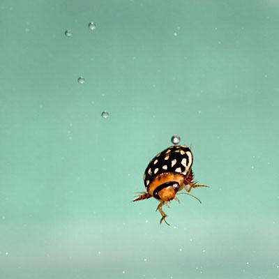 Laccophilus pictus, Arizona