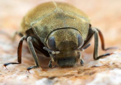 lutrochus1.jpg