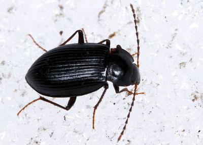 agyrtidaeapteroloma-caraboides.jpg