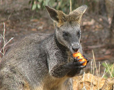 wallaby2.jpg