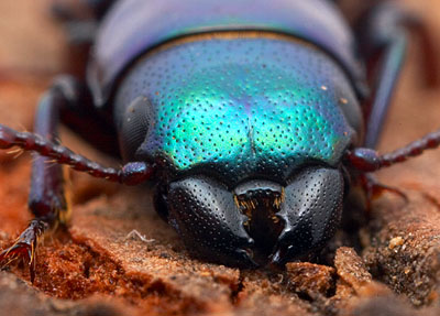 friday beetle blogging a - photo #11