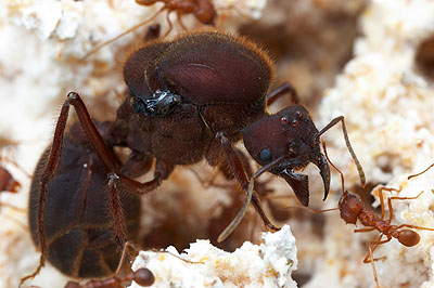 Queen Ant Actual Size How to Identify Queen ...
