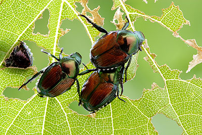 Popillia japonica - The Japanese Beetle