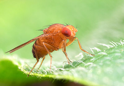 Drosophila - A Vinegar Fly, not a Fruit Fly