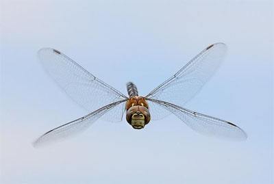 Dragonfly, by Necip Perver