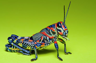 Painted Grasshopper, by Mundo Poco
