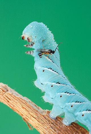 Parasitic Cotesia wasp attacks a Manduca larva