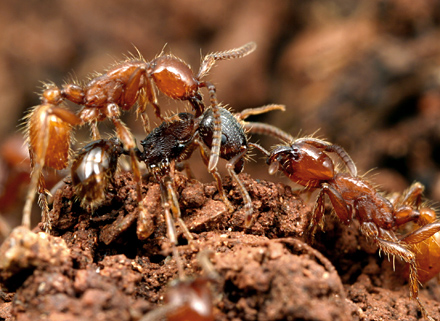 How should we talk about Army Ants? | Myrmecos Blog