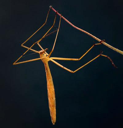 Apterobittacus apterus, California