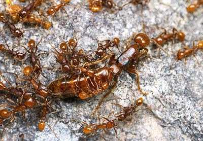 Army Ants of the North | Myrmecos Blog Queen Ant Laying Eggs