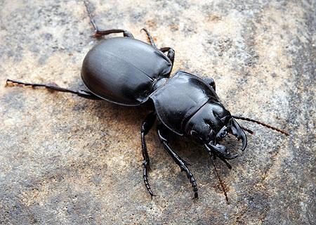 Pasimachus sp. ground beetle, Arizona