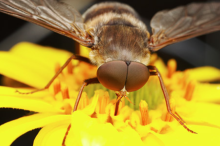 A long-tongued horse fly drinks from a flower in Arizona's Chiricahua mountains