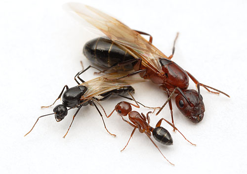 Camponotus discolor male, queen, and worker