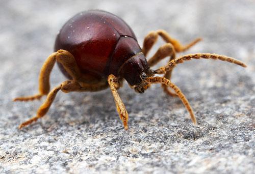 Gibbium sp. Spider Beetle, Arizona