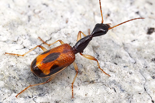 Colliuris pennsylvanica, long-necked ground beetle.  Arizona.