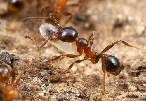 Pheidole dentata, older worker.  Texas.