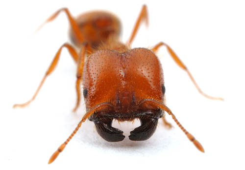 Solenopsis geminata, the tropical fire ant.