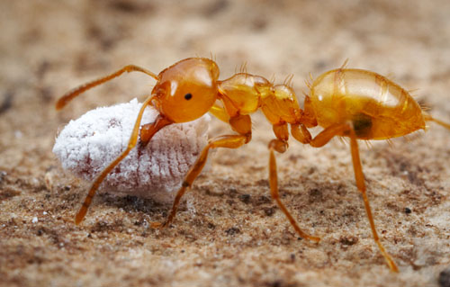 lasius11