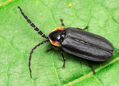 Lucidota atra, the black firefly.  New York.