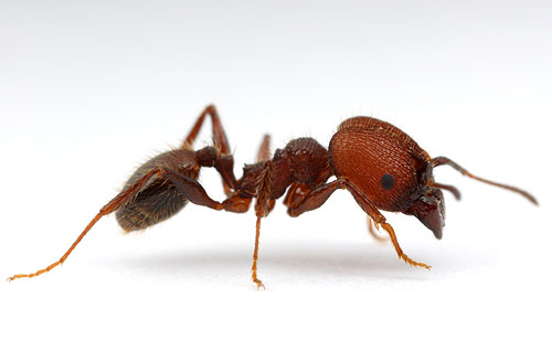 Pheidole obscurithorax
