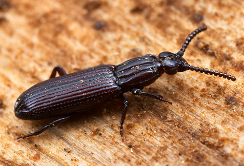 Omoglymmius, wrinkled bark beetle. California.