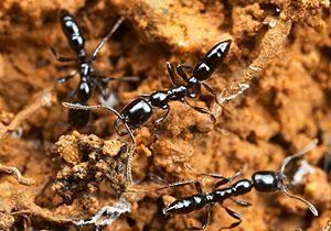 Onychomyrmex sp., Australia