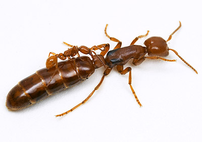 opacithorax8a