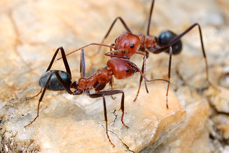 Iridomyrmex reburrus, a northern meat ant from Queensland