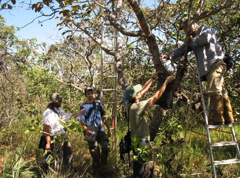 Working with arboreal ants in the cerrado