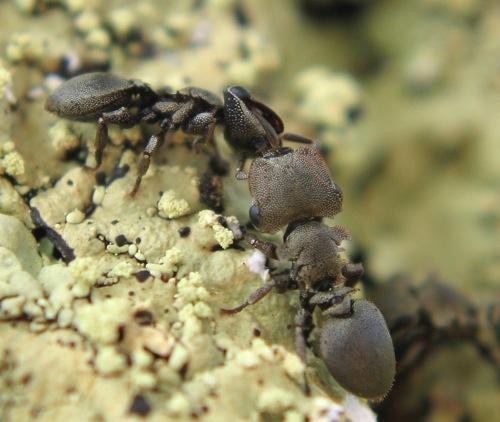 Cephalotes borgmeieri