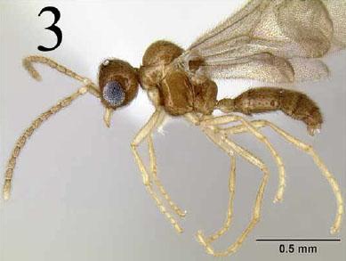 Amyrmex: Dolichoderinae?  Leptanilloidinae?  Who knew?