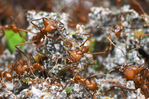 Atta cephalotes, in the fungus garden