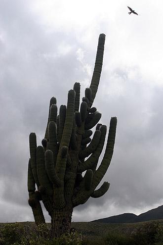 Cardon cactus, Amaicha del Valle