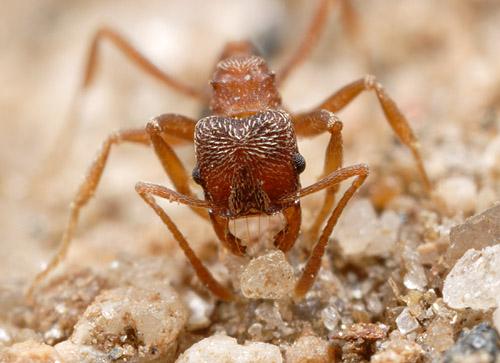 Kalathomyrmex emeryi, Argentina.