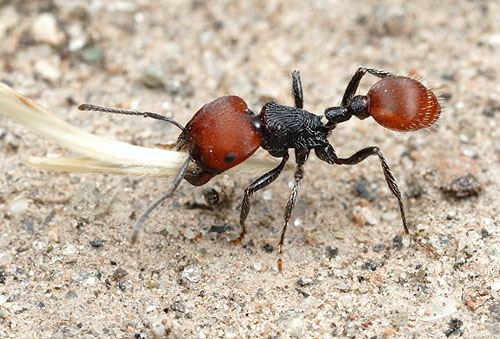 Pogonomyrmex rastratus, Tucumán, Argentina