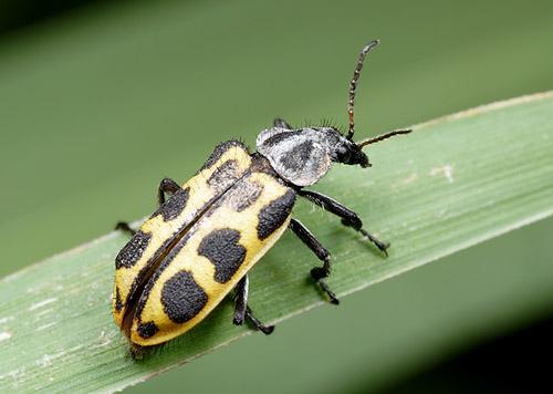 Astylus atromaculatus (Melyridae), Argentina
