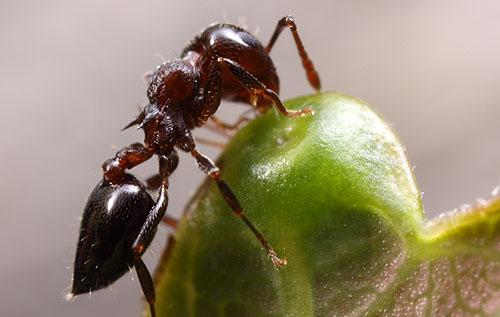 Native ants on introduced nectaries | Myrmecos Blog