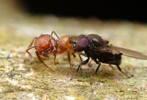 Image result for Ant Mugging Flies