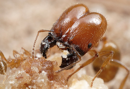 Pheidole rosae, major worker, Entre Rios, Argentina