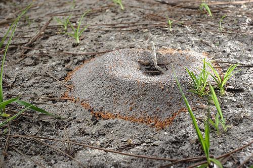 nest of the cone ant, Dorymyrmex bureni