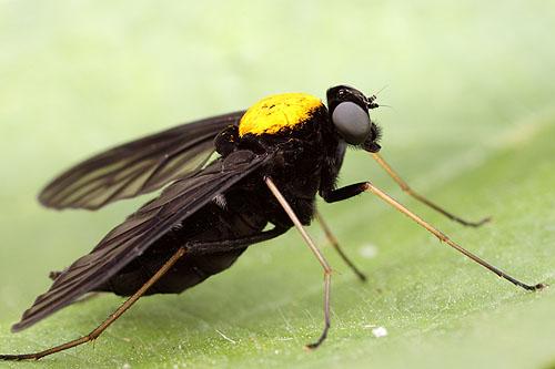 Chrysopils sp. (Rhagionidae)