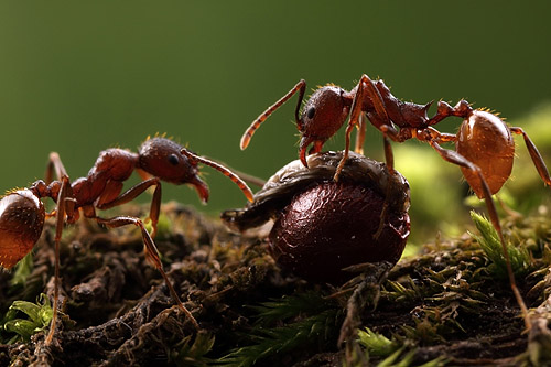 Aphaenogaster workers tasting the elaiosome of a bloodroot seed. Illinois.