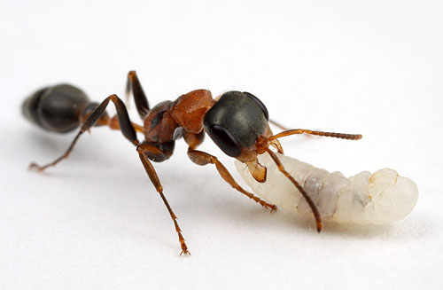 Pseudomyrmex gracilis, with larva