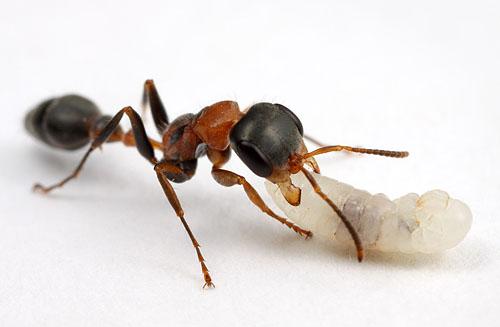 Pseudomyrmex gracilis, with larva
