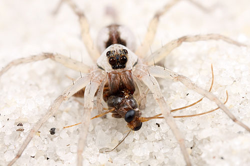 sand wolf spider captures an ant male