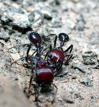 Pogonomyrmex micans, 2002
