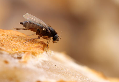 A scuttle fly (Phoridae) on a mushroom
