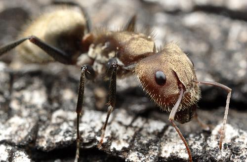 Camponotus rosariensis, 2009
