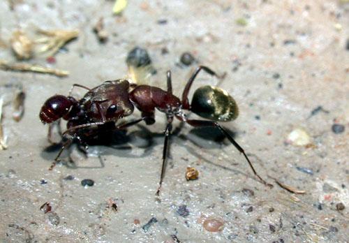 Camponotus rosariensis, 2002